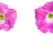 supertunia_mini_bright_pink_002.jpg