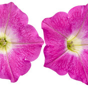 supertunia_mini_bright_pink_01.jpg