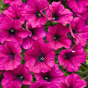 supertunia_mini_purple.jpg