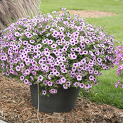 supertunia_mini_rose_veined_11.jpg