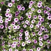 Supertunia® Mini Rose Veined