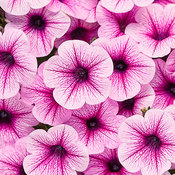 Supertunia® Trailing Rose Veined - Petunia hybrid