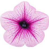 supertunia_mini_rose_veined_improved_cutout.jpg