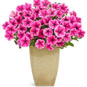supertunia_mini_strawberry_pink_veined.jpg