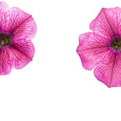 supertunia_mini_strawberry_pink_veined_002.jpg