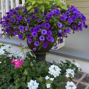 supertunia_mini_vista_indigo_petunia_and_rockin_golden_delicious_pineapple_sage_wow_with_superbena_whiteout_verbena_blooming_below.jpg