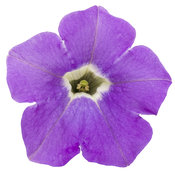 supertunia_morning_glory_charm_cutout.jpg