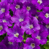 supertunia_morning_glory_charm_tag.jpg