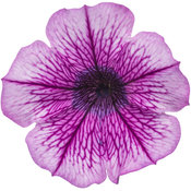 supertunia_mulberry_charm_03.jpg
