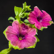 supertunia_picasso_in_purple_04_macro_black.jpg