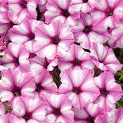 Supertunia Mini Vista® Pink Star - Petunia hybrid