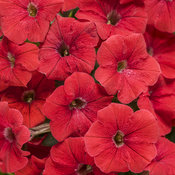 Supertunia® Really Red