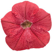supertunia_really_red_04.jpg