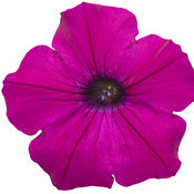 supertunia_royal_magenta_02.jpg