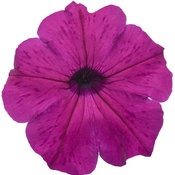 Supertunia® Royal Magenta™ - Petunia