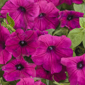 supertunia_royal_magenta_improved_tag.jpg