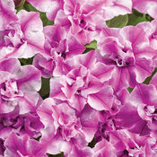 Supertunia® Sharon - Double Petunia - Petunia hybrid