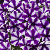 Supertunia Mini Vista® Violet Star - Petunia hybrid