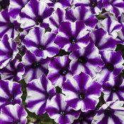 supertunia_violet_star_tagimage.jpg