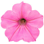 supertunia_vista_bubblegum_macro_04.jpg