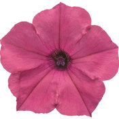 supertunia_vista_fuchsia_improved_01.jpg