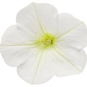 supertunia_white_charm_01.jpg