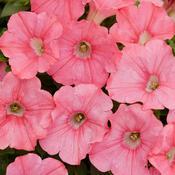 Supertunia® Bermuda Beach® - Petunia hybrid