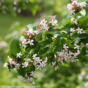 sweet_emotion_abelia-1-2.jpg
