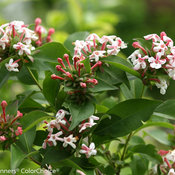 sweet_emotion_abelia-1.jpg