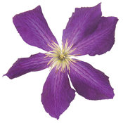 sweet_summer_love_clematis2.jpg