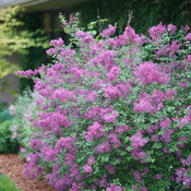 syringa_bloomerang_dark_purple_dsc02992.jpg