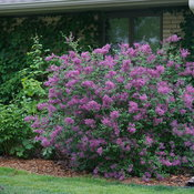 syringa_bloomerang_dark_purple_dsc03166.jpg