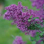 Bloomerang Dark Purple reblooming lilac