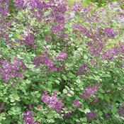 syringa_bloomerang_dark_purple_img_0009.jpg