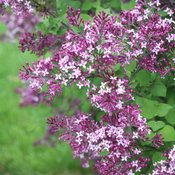 syringa_bloomerang_dark_purple_img_0019.jpg