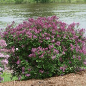 syringa_bloomerang_dark_purple_img_0025.jpg