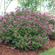 syringa_bloomerang_dark_purple_img_1289.jpg