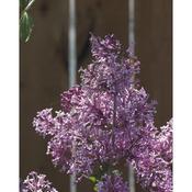 syringa_bloomerang_purple_1878.jpg