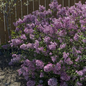 syringa_bloomerang_purple_1903.jpg
