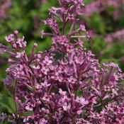 syringa_bloomerang_purple_img_6142.jpg