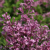 syringa_bloomerang_purple_img_6142.jpg