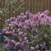 syringa bloomerang purple plant_1891c.jpg