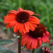 tanager_coneflower_close-up.jpg