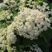 tandoori_orange_viburnum_flowers.jpg