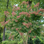 temple_of_bloom_heptacodium_1.jpg
