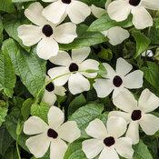 Coconut A-Peel® - Black-Eyed Susan Vine - Thunbergia