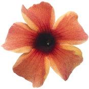 Tangerine Slice A-Peel® - Black-Eyed Susan Vine - Thunbergia