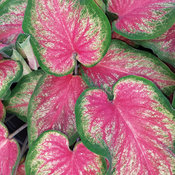 Heart to Heart™ 'Tickle Me Pink' - Sun or Shade Caladium - Caladium hortulanum