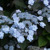 tiny_tuff_stuff_hydrangea-3.jpg