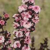 Tiny Wine Physocarpus (Ninebark)